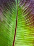 关闭红色有叶的香蕉叶子 免版税库存照片