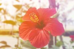 关闭红色汉语在庭院里上升了 图库摄影