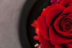 关闭红色玫瑰 库存图片