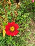 关闭红色百日菊属的图片 库存照片