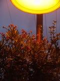 关闭红色花开花的灌木,在一个橙黄城市下在晚上点燃了灯 免版税库存照片