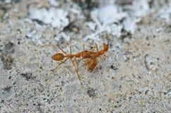 关闭红色蚂蚁本质上 免版税库存图片