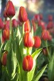关闭红色郁金香在有树ba bokeh的庭院里调遣  免版税库存图片
