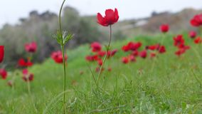 关闭红色银莲花属花在一个冬日,以色列的领域 库存图片