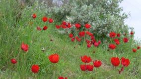 关闭红色银莲花属花在一个冬日,以色列的领域 免版税库存照片