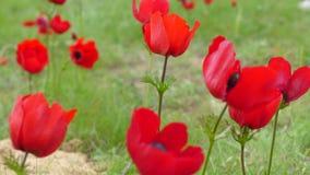 关闭红色银莲花属花在一个冬日,以色列的领域 库存照片