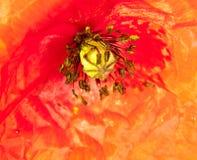 关闭红色领域鸦片头状花序水露水小滴Papav 免版税图库摄影