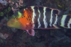 关闭红色breasted濑鱼鱼的图象 免版税库存图片