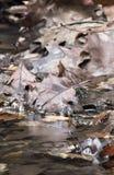 关闭红褐色的橡木槭树在河把说谎留在充斥在美丽的五颜六色的森林里与长的商展的流动的溪河 库存图片