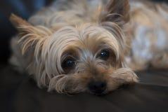 关闭约克夏狗休息。 免版税库存照片