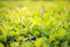 关闭绿色叶子在种植园 免版税库存图片