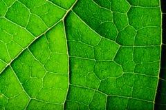 关闭绿色叶子纹理  免版税图库摄影