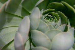 关闭绿色多汁植物 免版税库存图片
