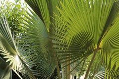 关闭绿色棕榈叶的图象 免版税图库摄影