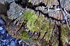 关闭绿色生苔在木树干 免版税库存图片