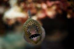关闭绿色被察觉的海鳝头和牙 免版税库存照片