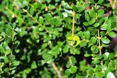 关闭绿色黄杨属叶子 图库摄影