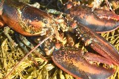 关闭缅因龙虾的照片在离缅因的海岸的附近 库存照片