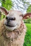 关闭羊属白羊星座 库存图片