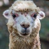 关闭羊魄的图象 免版税库存照片