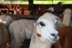 关闭羊魄的面孔在农场 免版税图库摄影