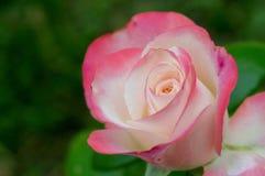 关闭美丽上升了在桃红色和白色 图库摄影