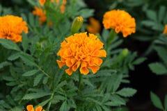 关闭美丽的万寿菊花在庭院里 免版税库存照片