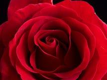 关闭美丽的天鹅绒红色玫瑰 免版税库存图片