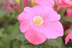 关闭美丽的桃红色喇叭花花开花的一个唯一头在植物园 库存图片