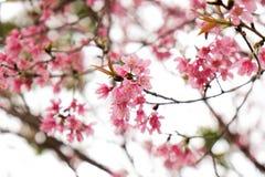 关闭美丽的桃红色樱花在冬天, Chaing Mai的泰国佐仓 库存图片