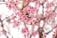 关闭美丽的桃红色樱花在冬天, Chaing Mai的泰国佐仓 免版税库存照片