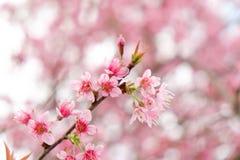 关闭美丽的桃红色樱花在冬天, Chaing Mai的泰国佐仓 库存照片