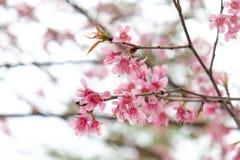 关闭美丽的桃红色樱花在冬天, Chaing Mai的泰国佐仓 免版税图库摄影
