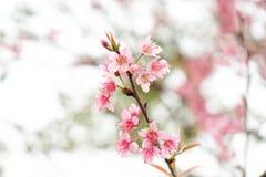 关闭美丽的桃红色樱花在冬天, Chaing Mai的泰国佐仓 免版税库存图片
