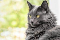 关闭美丽的灰色猫画象  图库摄影