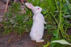 关闭美丽的白色兔子在庭院里 免版税库存图片