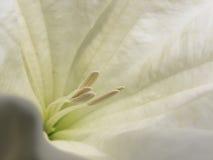 关闭美丽的白色开花10 库存图片