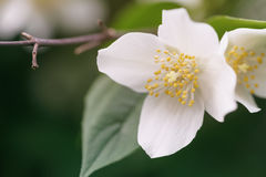 关闭美丽的茉莉花开花照片在晚上日落光的 库存图片