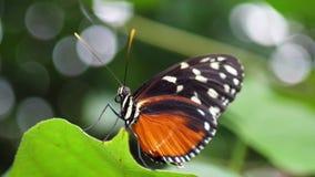 关闭美丽的蝴蝶坐植物 股票录像