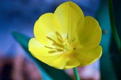 关闭美丽的郁金香 免版税库存图片