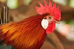 关闭美丽的雄鸡,狂放的拔根器 免版税库存照片