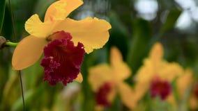 关闭美丽的黄色兰花` s开花在庭院里 股票视频