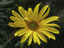 关闭美丽的黄色开花17 免版税库存照片
