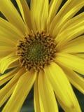 关闭美丽的黄色开花 免版税库存照片
