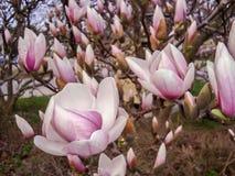 关闭美丽的紫色木兰花在春天海 库存照片
