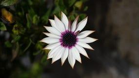 关闭美丽的Osteospermum紫罗兰色非洲雏菊花 库存照片