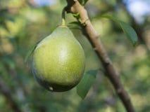 关闭美国宏观绿色成熟鲕梨果子Fuerte的鳄梨属 免版税库存图片