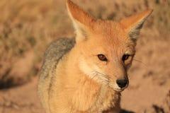 关闭美好的安地斯山的Fox在阿塔卡马沙漠,智利的Altiplano 图库摄影