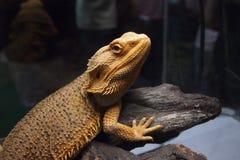 关闭美好的鬣鳞蜥看看您 免版税库存照片