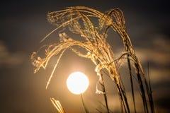 关闭美妙的日落光的stipa植物 免版税库存图片